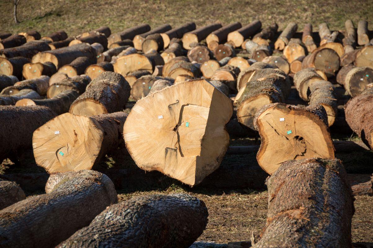 Na dražbi tudi letos pričakujejo najbolj kakovosten les. Foto: ZGS/Boris Rantaša