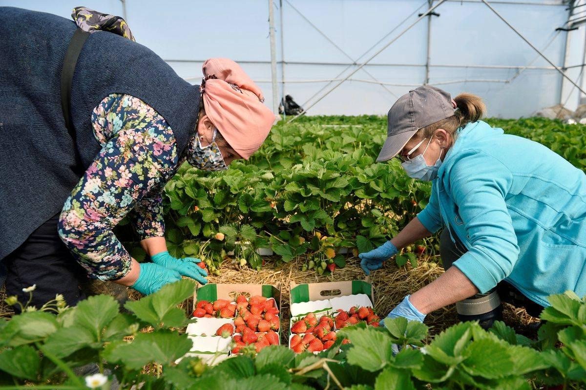 Številne evropske države se pri delu v kmetijstvu zanašajo na sezonske delavce, zlasti z Vzhoda. Foto: Reuters