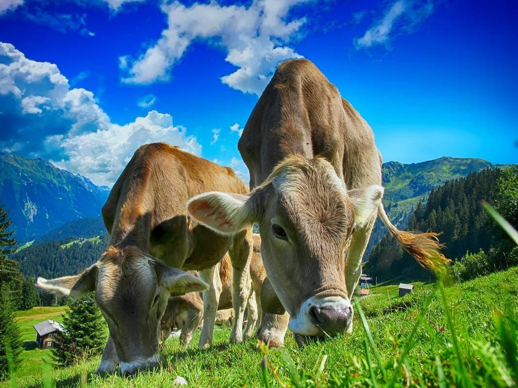 Pogoji pridobitve pomoči za rejce goveda so nemogoči, opozarja kmetijsko-gozdarska zbornica. Foto: Pixabay